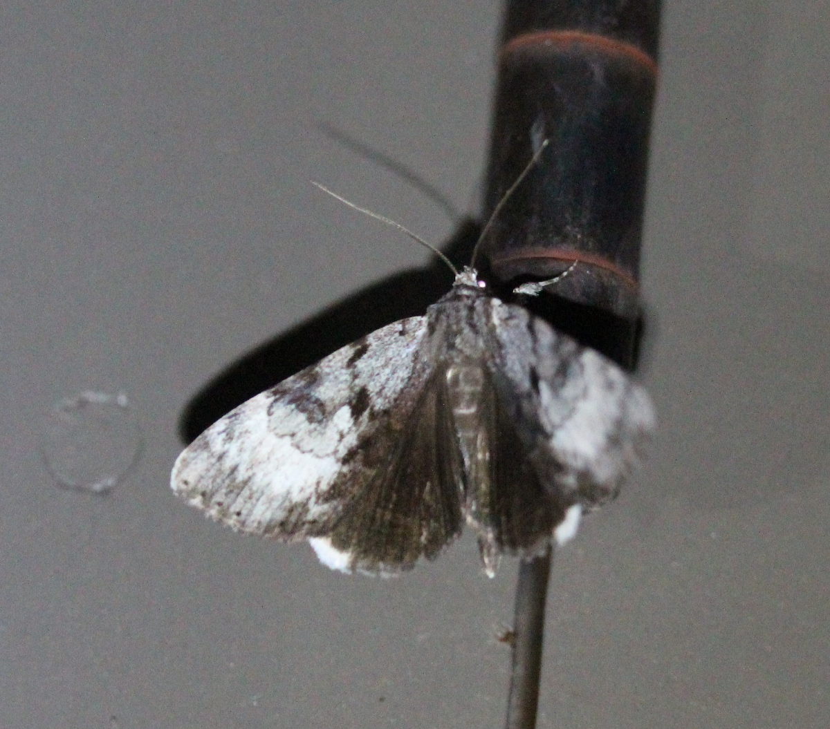 grey moth fluttering with wings open showing black hindwings