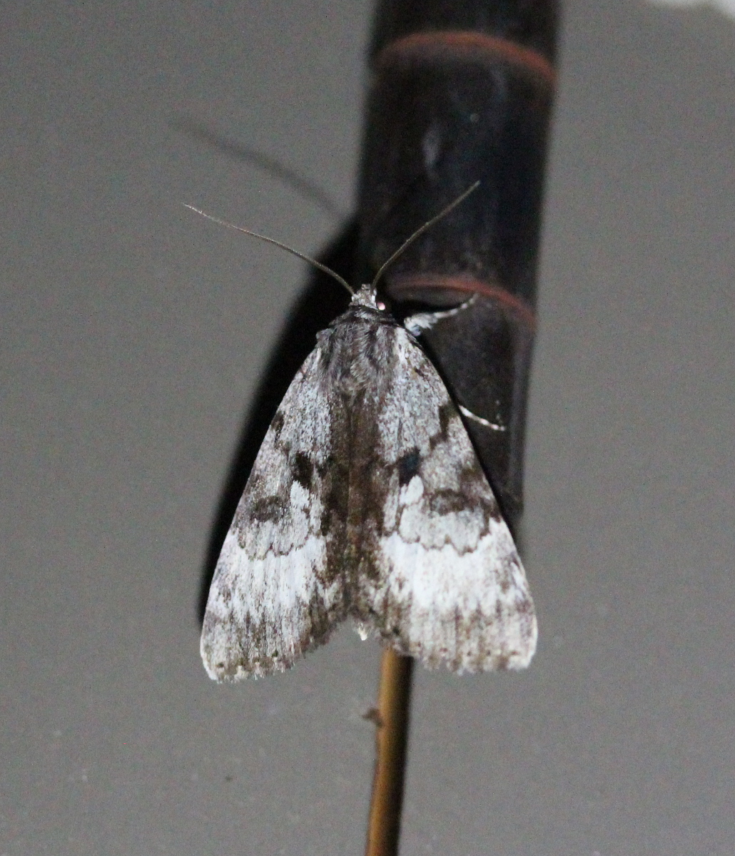grey patterned moth
