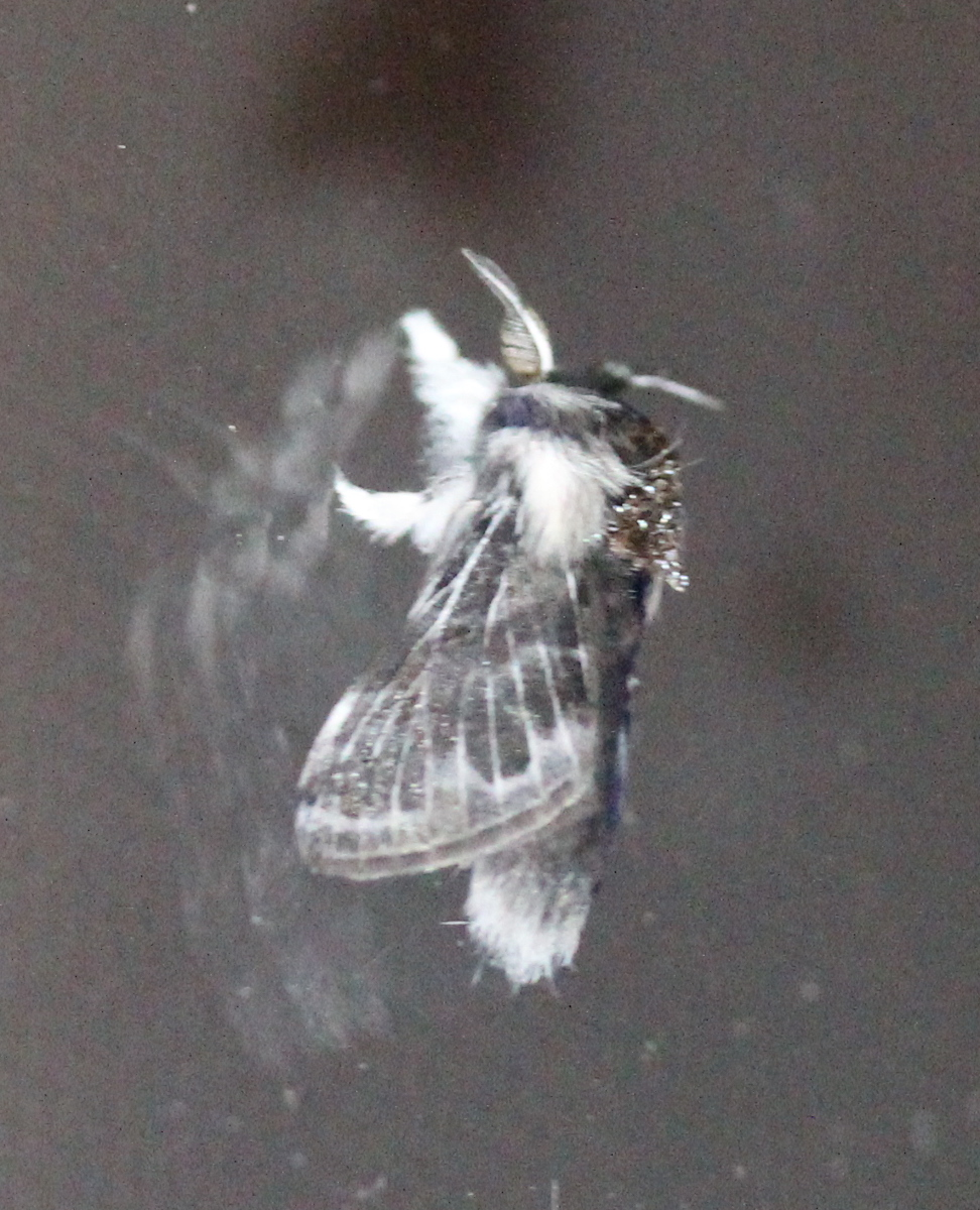 fuzzy grey moth on window pane