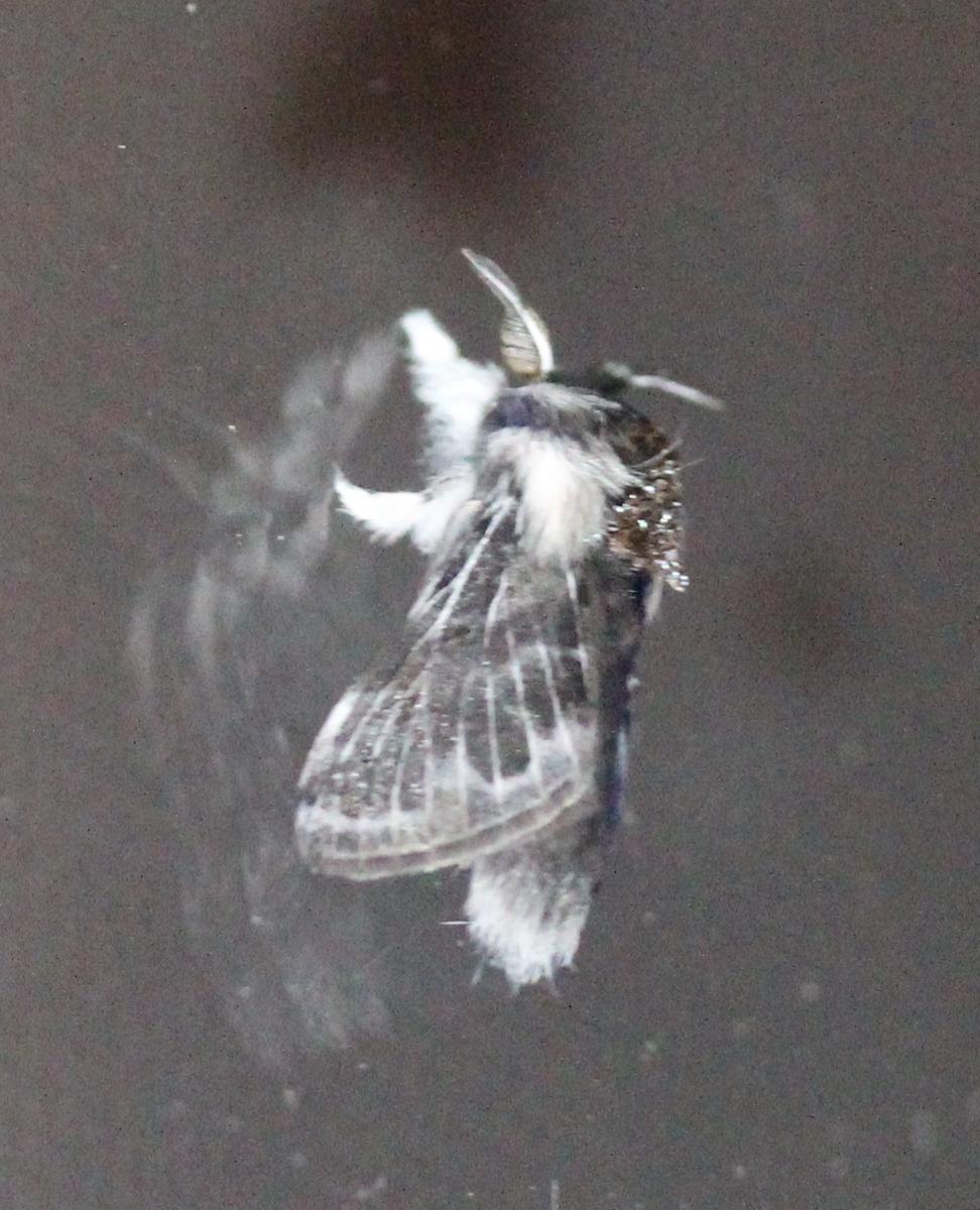 fuzzy grey moth on window pane