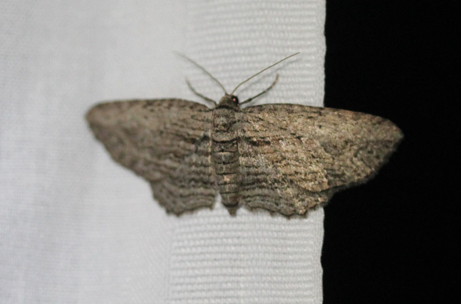 grey striped moth