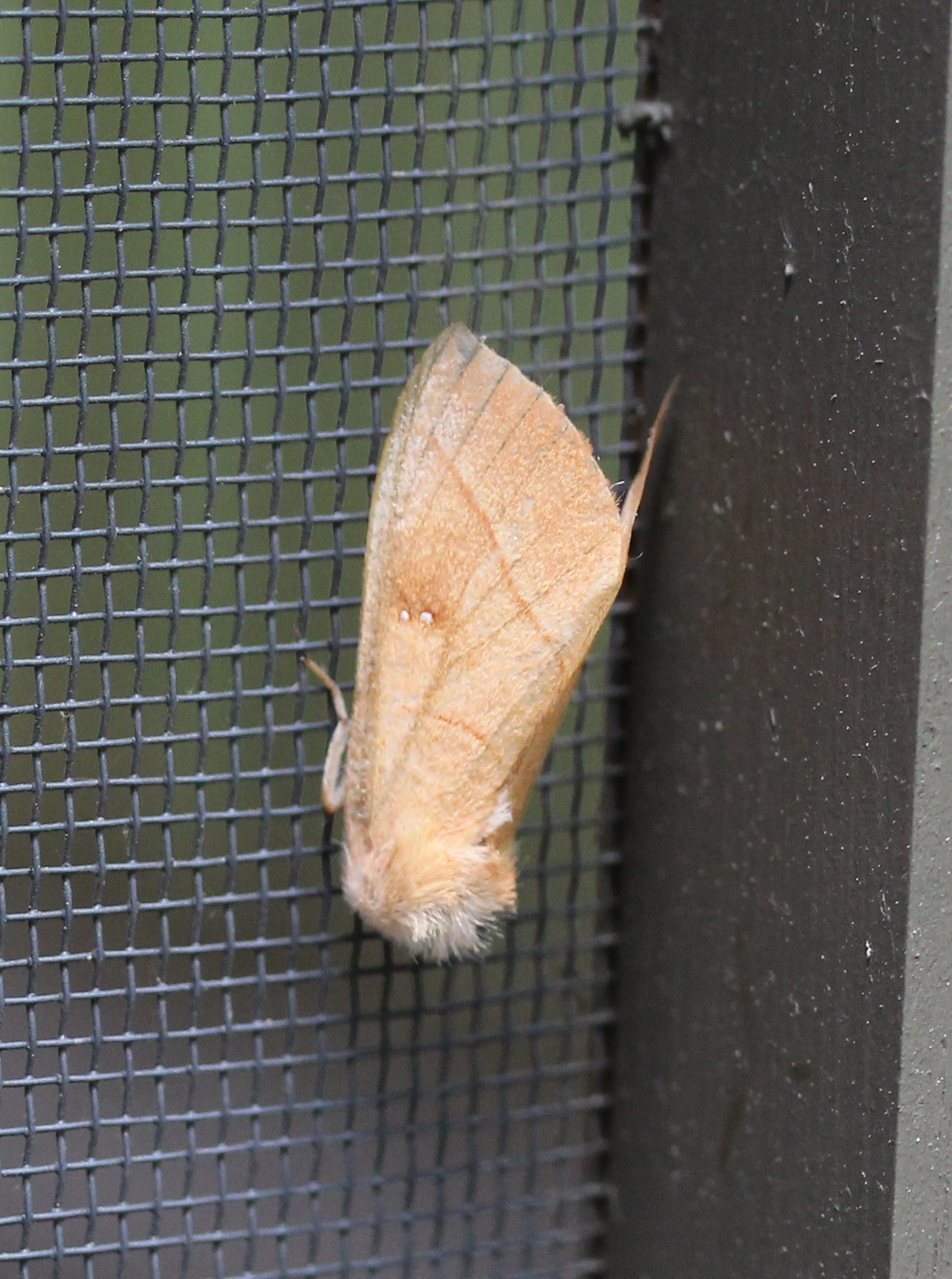 yellow/tan moth on porch screen