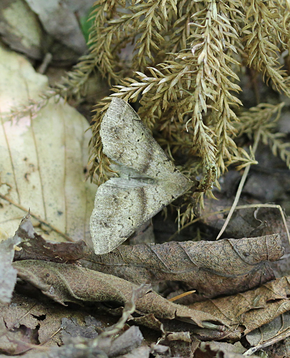 brown moth on brown leaves in daylight