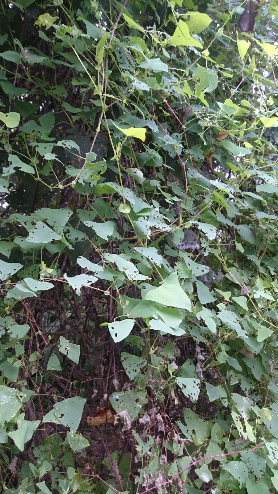 vine with distinctive triangular leaves
