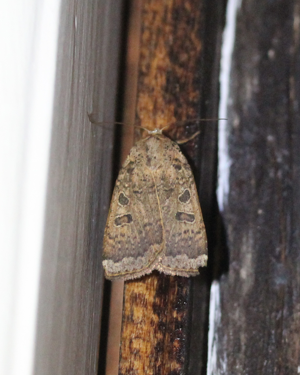 brownish moth on window sashing