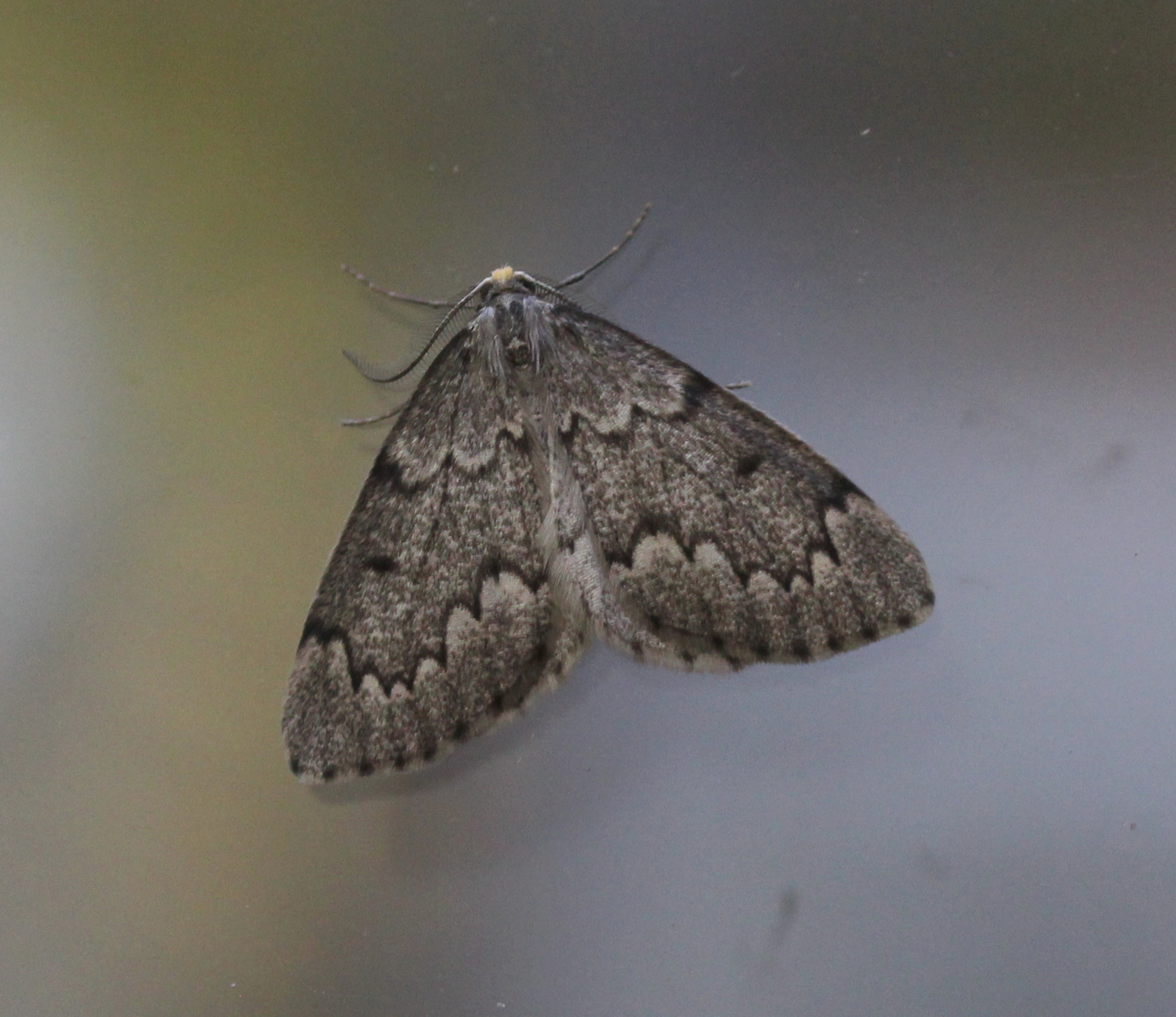 grey moth on window