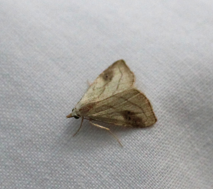 cream/brown moth on white sheet