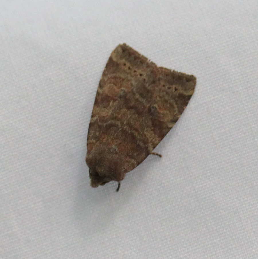 brown moth on white sheet