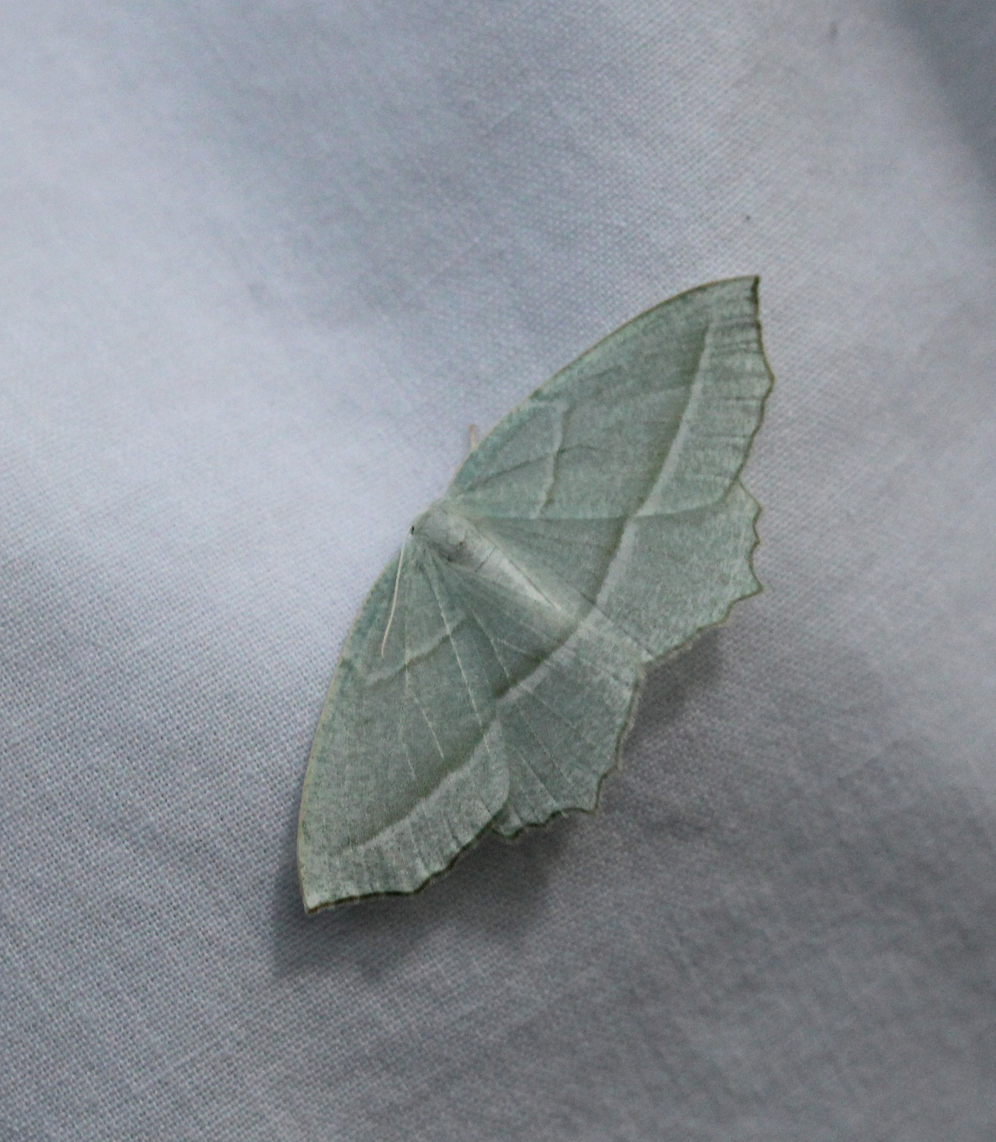 pale/green-white moth