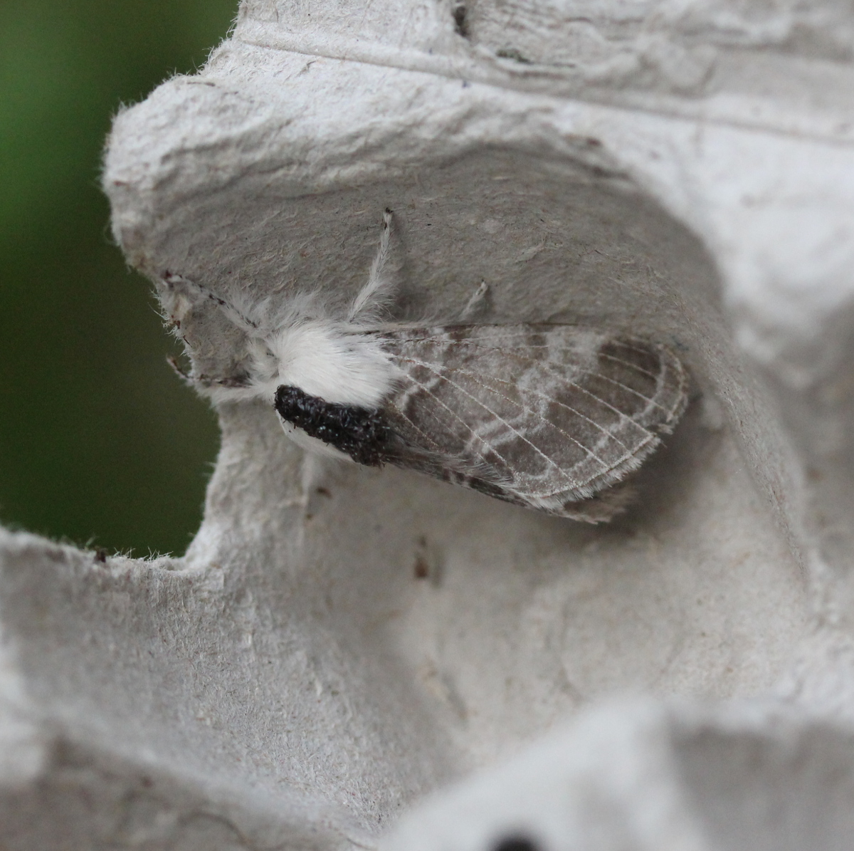 grey/white moth on egg carton