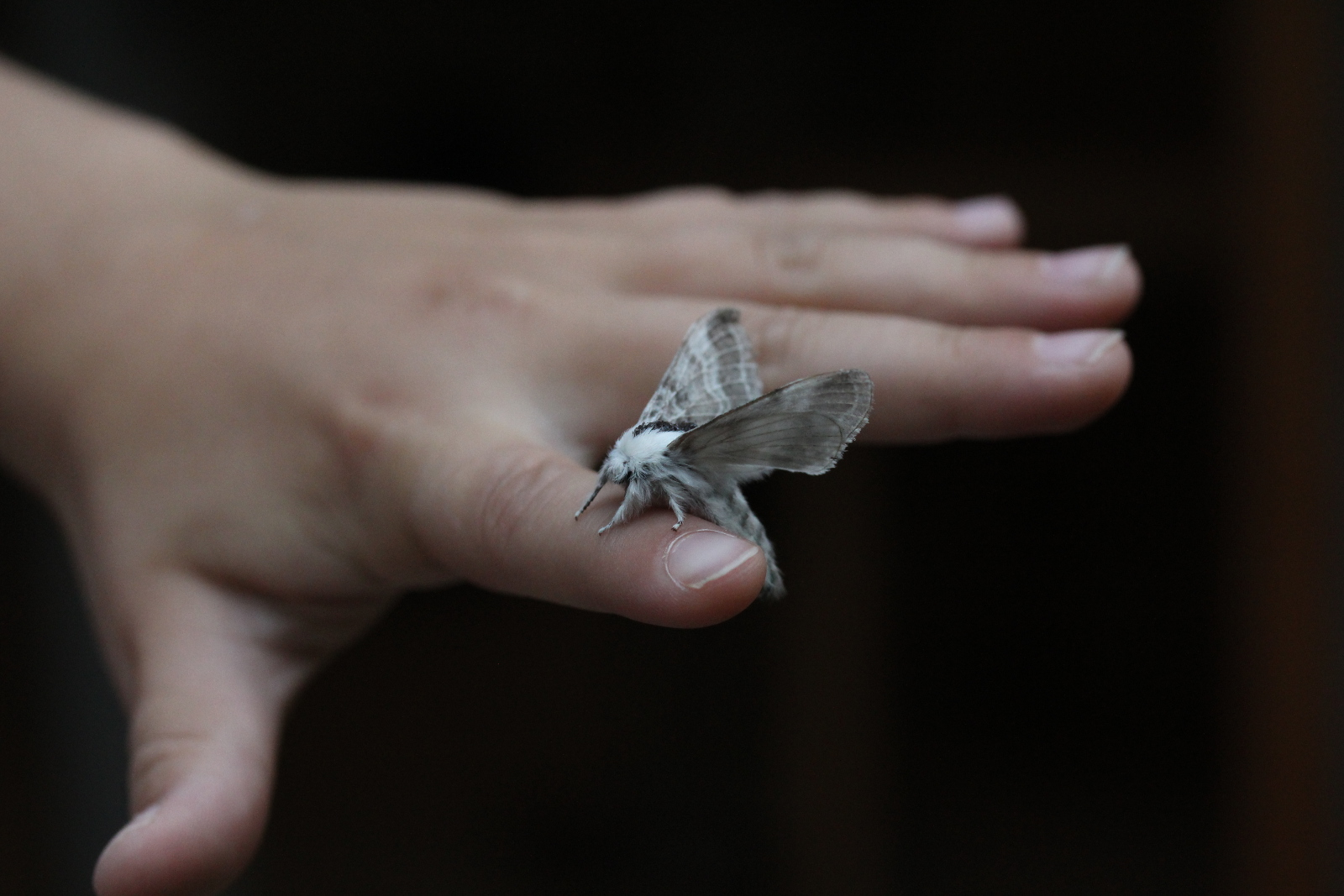 grey/white moth on child's hand