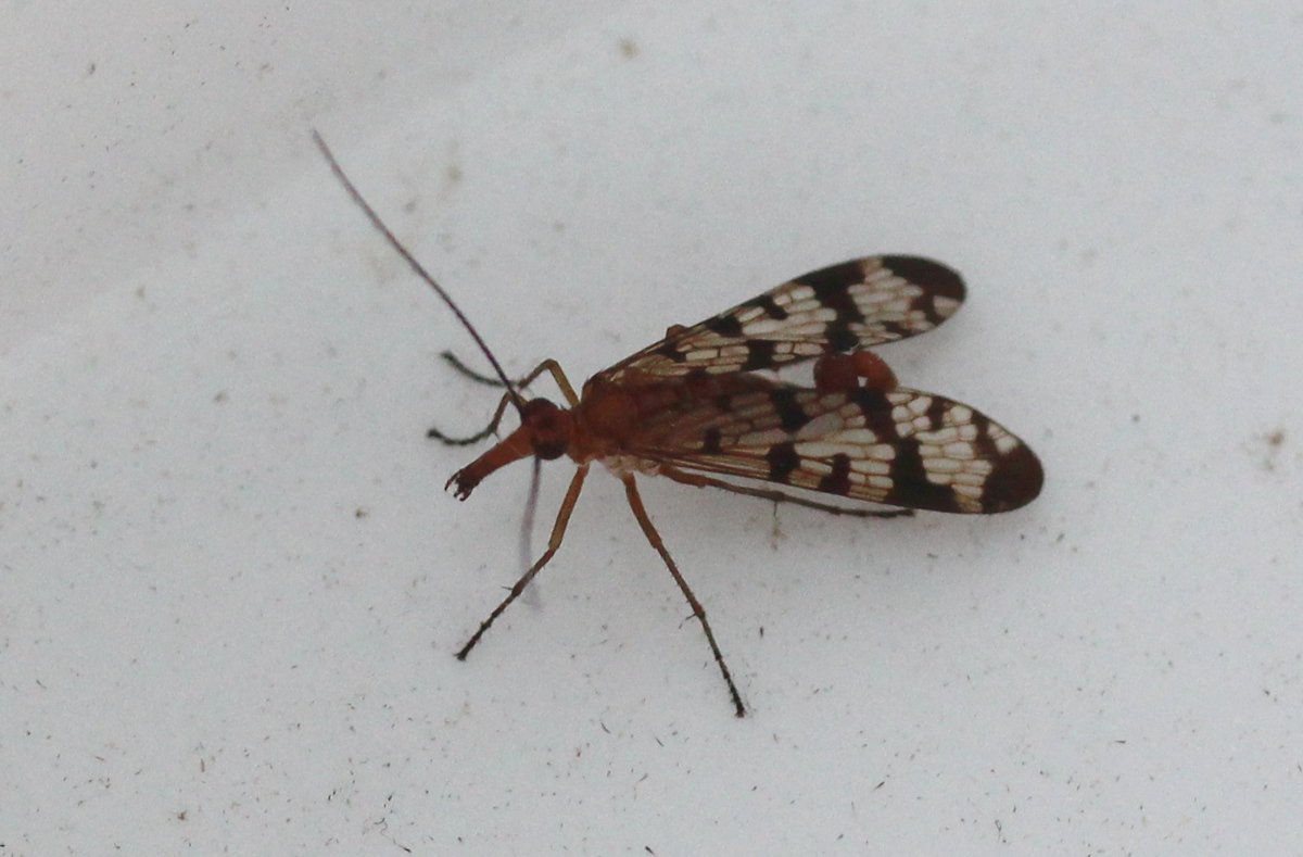 fly with patterned wings and upwards curled abdomen
