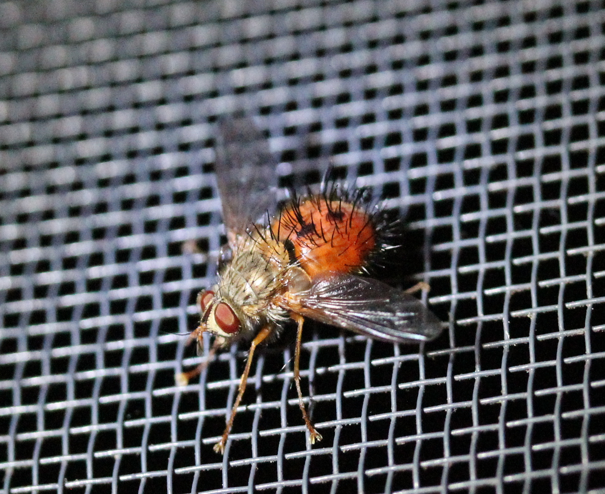 red bristly fly on window screen