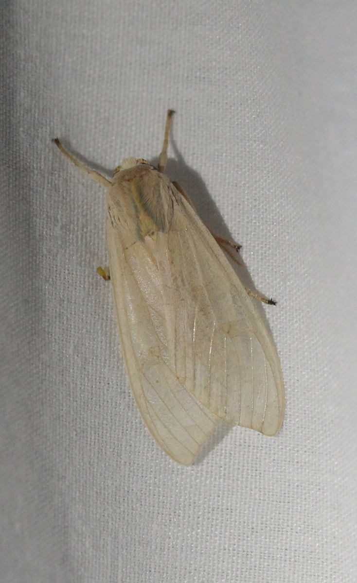 pale moth on sheet