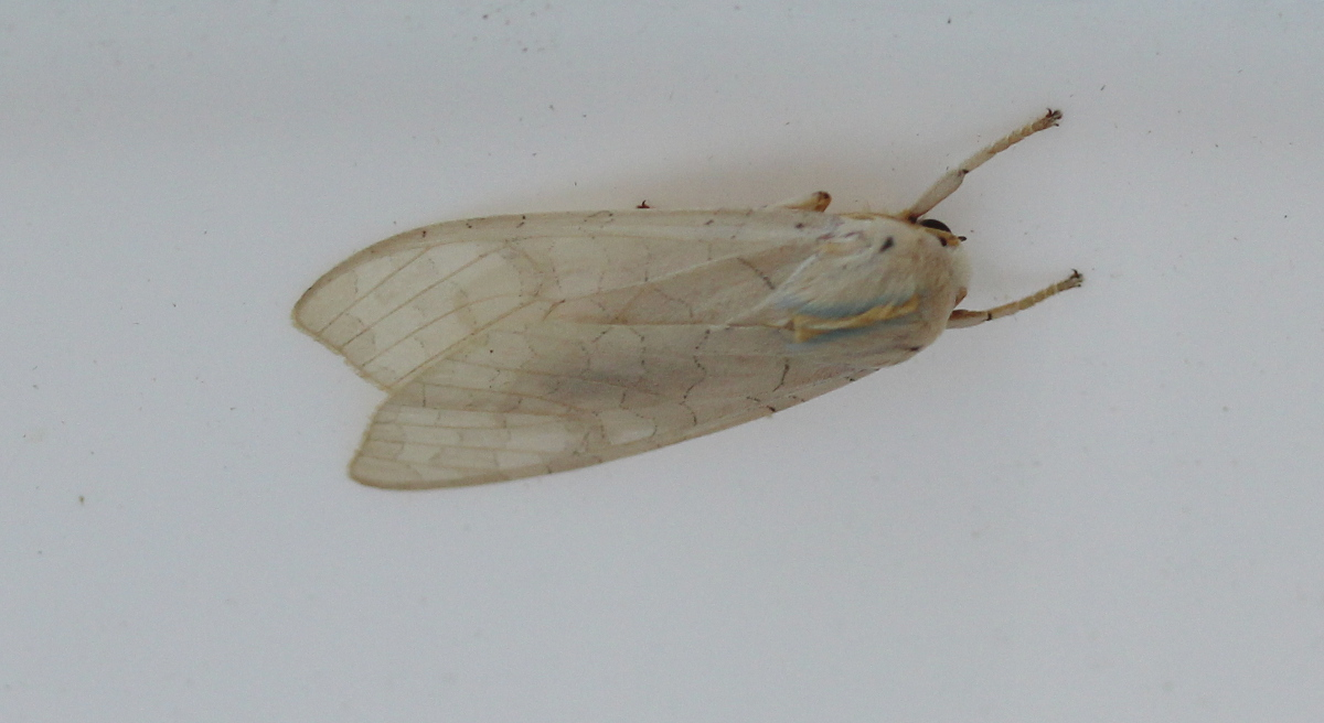 pale moth on plastic bucket