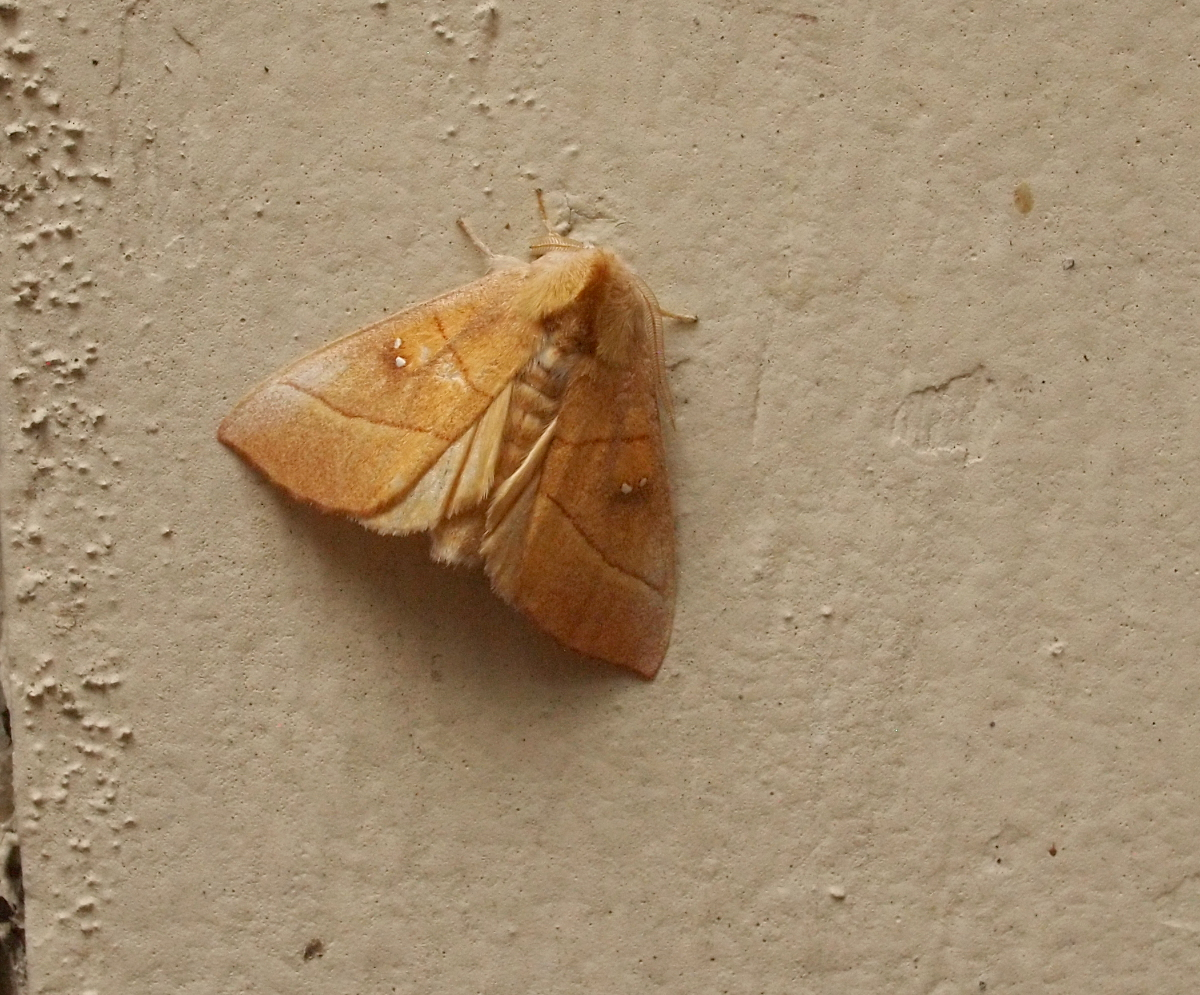 White-Dotted Prominent, restroom exterior wall