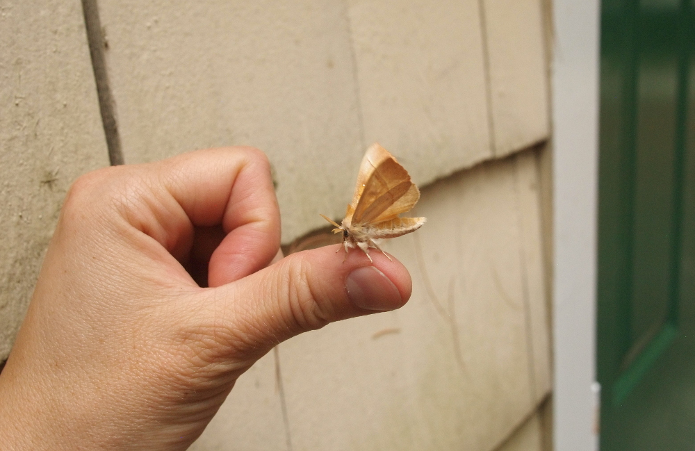 White-Dotted Prominent, on my thumb