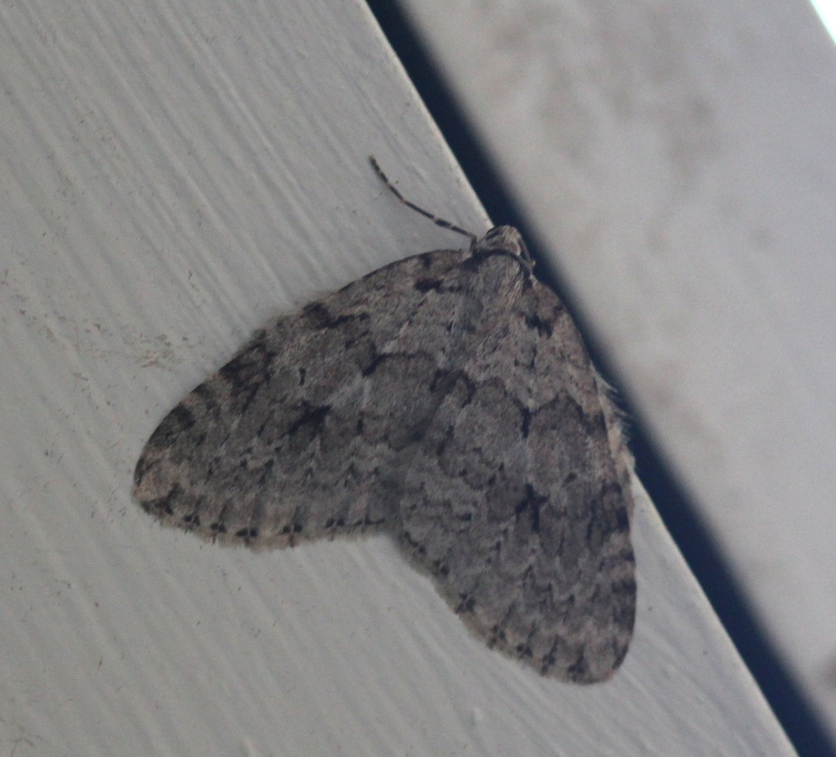Autumnal Moth
