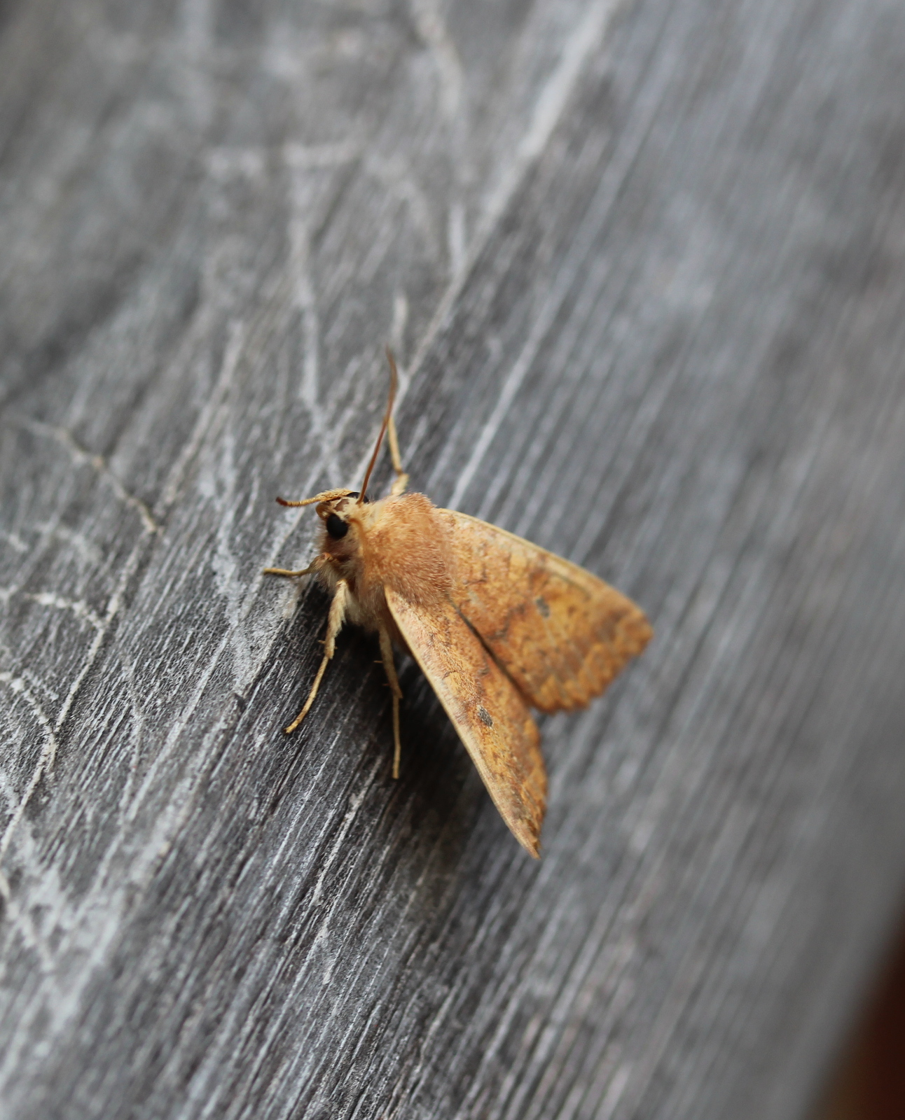 Bicolored Sallow