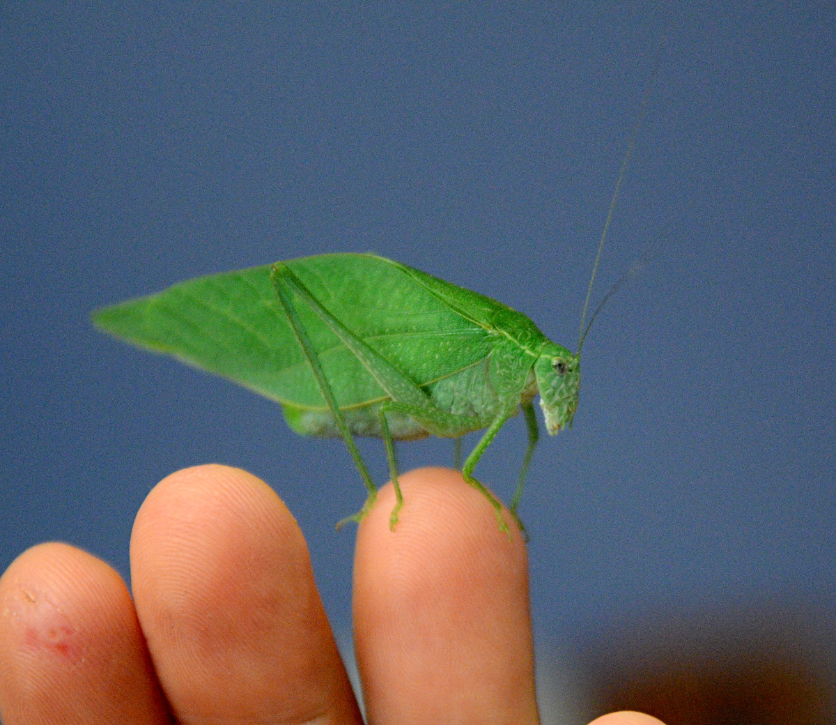 Unknown Katydid on Monty's fingertips