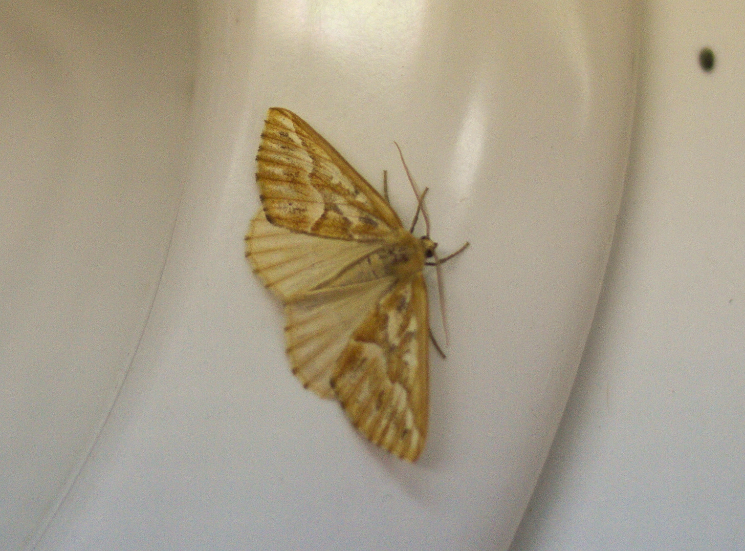 Northern Pine Looper moth, on sink edge