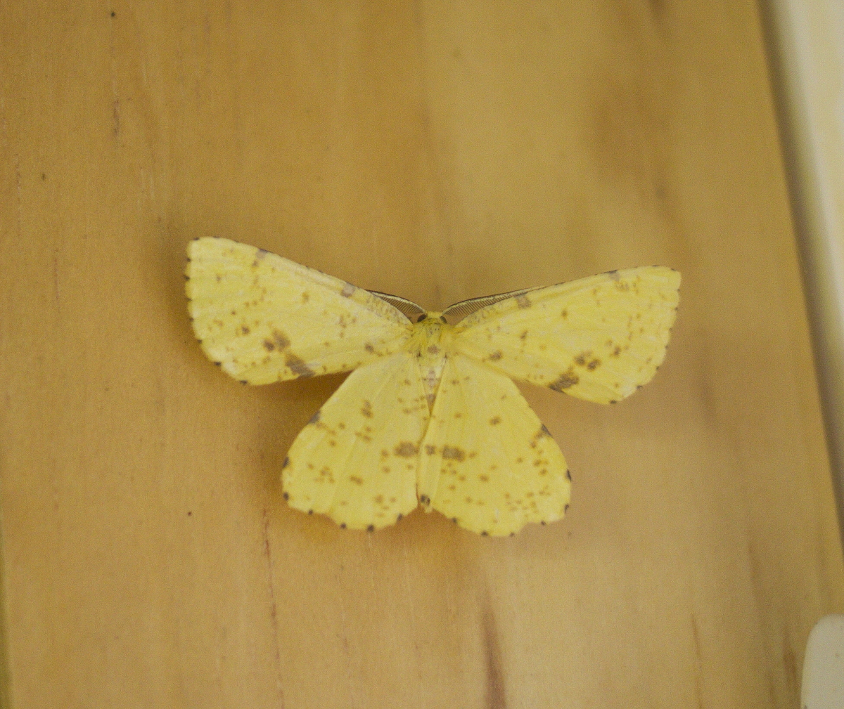 Crocus Geometer, on wood